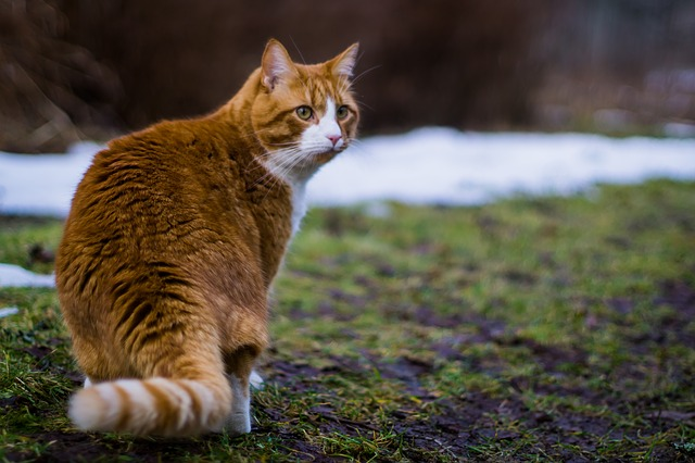 koty norweskie