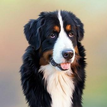 Hodowla berneńskich psów pasterskich